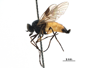 (Dasyommatinae - CCDB-31123-F12)  @11 [ ] CreativeCommons - Attribution Non-Commercial Share-Alike (2017) CBG Photography Group Centre for Biodiversity Genomics