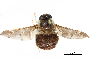 (Atriadopinae - CCDB-31123-H09)  @11 [ ] CreativeCommons - Attribution Non-Commercial Share-Alike (2017) CBG Photography Group Centre for Biodiversity Genomics
