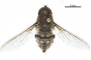 (Hirmoneurinae - CCDB-31124-A03)  @11 [ ] CreativeCommons - Attribution Non-Commercial Share-Alike (2017) CBG Photography Group Centre for Biodiversity Genomics