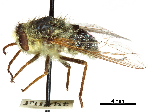 (Hilarimorphidae - CCDB-31124-A11)  @11 [ ] CreativeCommons - Attribution Non-Commercial Share-Alike (2017) CBG Photography Group Centre for Biodiversity Genomics