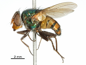 (Eurhyncomyia - CCDB-31126-A04)  @11 [ ] CreativeCommons - Attribution Non-Commercial Share-Alike (2017) CBG Photography Group Centre for Biodiversity Genomics