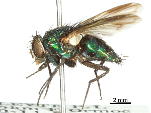(Isomyia - CCDB-31126-A07)  @11 [ ] CreativeCommons - Attribution Non-Commercial Share-Alike (2017) CBG Photography Group Centre for Biodiversity Genomics