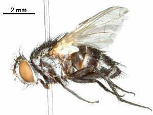 (Kuwanimyia - CCDB-31126-F02)  @11 [ ] CreativeCommons - Attribution Non-Commercial Share-Alike (2017) CBG Photography Group Centre for Biodiversity Genomics