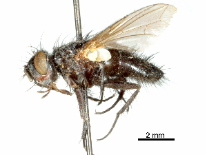 (Ptesiomyia - CCDB-31126-F03)  @11 [ ] CreativeCommons - Attribution Non-Commercial Share-Alike (2017) CBG Photography Group Centre for Biodiversity Genomics