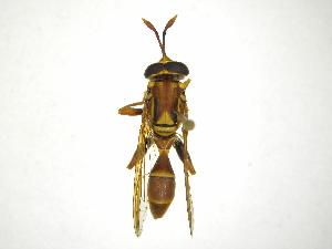 (Monoceromyia - INB0003050723)  @14 [ ] Copyright (2012) M. Zumbado Instituto Nacional de Biodiversidad