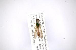 (Chrysochlorininae - INB0003152609)  @13 [ ] Copyright (2012) M. Zumbado Instituto Nacional de Biodiversidad