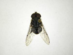 (Palpada - INB0003945466)  @15 [ ] Copyright (2012) M. Zumbado Instituto Nacional de Biodiversidad