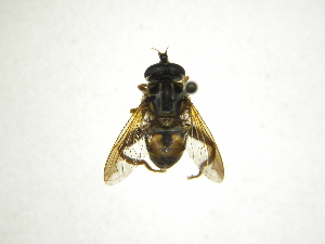 (Lycopale - INB0004289577)  @14 [ ] Copyright (2012) M. Zumbado Instituto Nacional de Biodiversidad