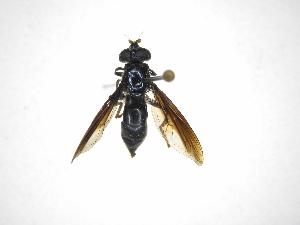 (Habromyia - INBIOCRI001614259)  @11 [ ] Copyright (2012) M. Zumbado Instituto Nacional de Biodiversidad