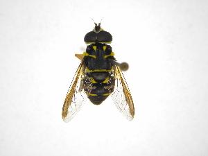 (Meromacrus - INBIOCRI002570816)  @15 [ ] Copyright (2012) M. Zumbado Instituto Nacional de Biodiversidad
