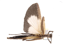 (Phasmatodea - INB0003783384)  @15 [ ] Copyright (2012) I. Cruz Instituto Nacional de Biodiversidad