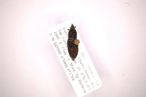 (Metamasius dasyurus - INB0003048414)  @11 [ ] Copyright (2012) Angel Solis Instituto Nacional de Biodiversidad