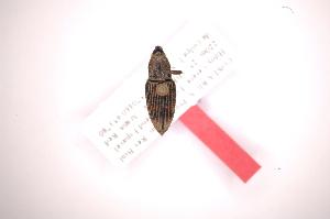 (Metamasius pygidialis - INB0003057111)  @13 [ ] Copyright (2012) Angel Solis Instituto Nacional de Biodiversidad