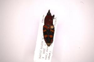 (Metamasius cincinnatus - INB0003159534)  @14 [ ] Copyright (2012) Angel Solis Instituto Nacional de Biodiversidad