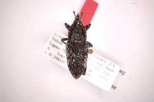 (Metamasius maculiventris - INB0003383586)  @11 [ ] Copyright (2012) Angel Solis Instituto Nacional de Biodiversidad