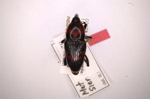 (Metamasius sierrakowskyi - INB0003607348)  @11 [ ] Copyright (2012) Angel Solis Instituto Nacional de Biodiversidad