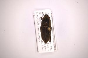 (Metamasius sulcirostris - INB0003850667)  @12 [ ] Copyright (2012) Angel Solis Instituto Nacional de Biodiversidad