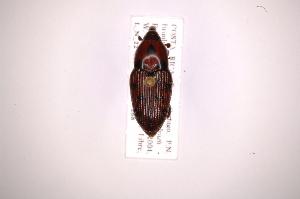 (Metamasius difficilis - INB0003850669)  @12 [ ] Copyright (2012) Angel Solis Instituto Nacional de Biodiversidad