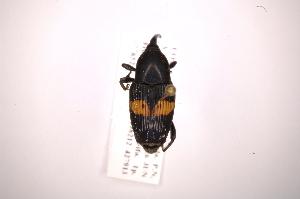 (Metamasius sellatus - INB0003859456)  @13 [ ] Copyright (2012) Angel Solis Instituto Nacional de Biodiversidad