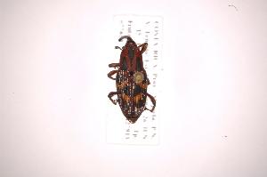 (Metamasius nudiventris - INB0003859458)  @11 [ ] Copyright (2012) Angel Solis Instituto Nacional de Biodiversidad