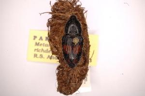 (Metamasius richdeboeri - INBIOCRI000412634)  @14 [ ] Copyright (2012) Angel Solis Instituto Nacional de Biodiversidad