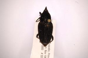 (Metamasius sellatusAS2 - INBIOCRI002092974)  @12 [ ] Copyright (2012) Angel Solis Instituto Nacional de Biodiversidad