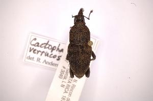 (Cactophagoides verrucosus - INBIOCRI002130944)  @11 [ ] Copyright (2012) Angel Solis Instituto Nacional de Biodiversidad