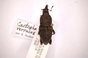 (Cactophagoides - INBIOCRI002130944)  @11 [ ] Copyright (2012) Angel Solis Instituto Nacional de Biodiversidad
