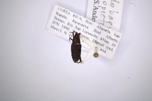 (Rhodobaenus nigropictus - INB0003049807)  @11 [ ] Copyright (2012) Angel Solis Instituto Nacional de Biodiversidad