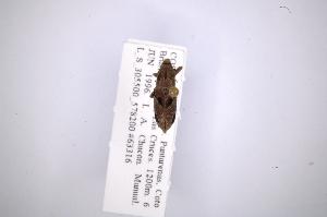 (Rhodobaenus nigrosignatus - INB0003335229)  @12 [ ] Copyright (2012) Angel Solis Instituto Nacional de Biodiversidad