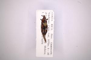(Rhodobaenus deltoides - INB0003528620)  @11 [ ] Copyright (2012) Angel Solis Instituto Nacional de Biodiversidad