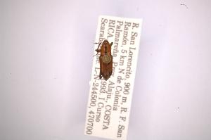 (Rhodobaenus lineiger - INBIOCRI001365493)  @11 [ ] Copyright (2012) Angel Solis Instituto Nacional de Biodiversidad