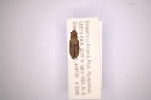 (Rhodobaenus lineigerAS2 - INBIOCRI001911763)  @12 [ ] Copyright (2012) Angel Solis Instituto Nacional de Biodiversidad