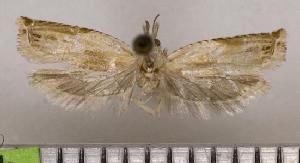 (Eucosma australis - ASTOR-11-0649)  @11 [ ] Unspecified (default): All Rights Reserved  Unspecified Unspecified