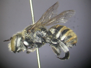 (Megachile sp. RLCR7 - RL1794A)  @14 [ ] CreativeCommons - Attribution Non-Commercial Share-Alike (2012) Remko Leijs South Australian Museum