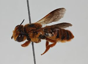 (Megachile sp. RLCR2 - RL1783)  @14 [ ] CreativeCommons - Attribution Non-Commercial Share-Alike (2012) Remko Leijs South Australian Museum