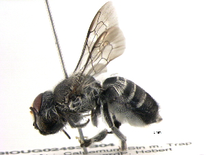 (Megachile aurifrons - BIOUG02493-B04)  @15 [ ] CreativeCommons - Attribution Non-Commercial Share-Alike (2013) CBG Photography Group Centre for Biodiversity Genomics