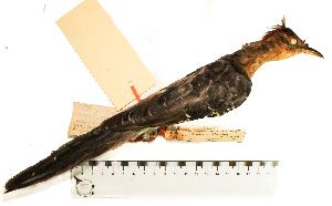 (Dromococcyx - MUSM-Orn-01668)  @11 [ ] CreativeCommons - Attribution Non-Commercial Share-Alike (2017) Unspecified Universidad Nacional Mayor de San Marcos, Museo de Historia Natural
