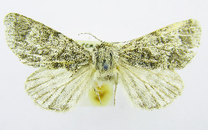 (Acronicta centralis - AV-0019-Noct.)  @11 [ ] No Rights Reserved (2011) A.V. Volynkin Unspecified