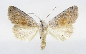(Xestia aschworthii aschworthii - AV-0030-Noct.)  @11 [ ] No Rights Reserved (2011) A.V. Volynkin Unspecified