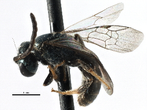 (Lasioglossum imitatum - CCDB-06710 G11)  @15 [ ] CreativeCommons - Attribution Non-Commercial Share-Alike (2016) CBG Photography Group Centre for Biodiversity Genomics