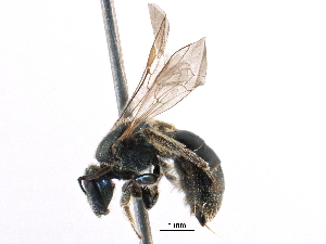 (Lasioglossum laevissimum - CCDB-06733 H11)  @15 [ ] CreativeCommons - Attribution Non-Commercial Share-Alike (2016) CBG Photography Group Centre for Biodiversity Genomics