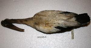 (Ciconiiformes - MACN-Or-ct 1856)  @13 [ ] Copyright (2014) MACN Museo Argentino de Ciencias Naturales, Bernardino Rivadavia