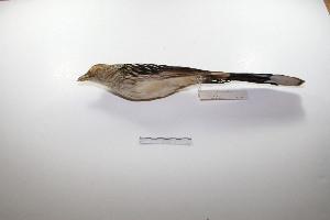 "(Guira - MACN-Or-ct 2145)  @13 [ ] Copyright (2012) MACN Museo Argentino de Ciencias Naturales ""Bernardino Rivadavia"""