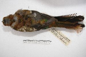 (Trogoniformes - MACN-Or-ct 2845)  @14 [ ] Copyright (2014) MACN Museo Argentino de Ciencias Naturales, Bernardino Rivadavia