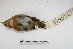 (Conopophagidae - MACN-Or-ct 3548)  @15 [ ] Copyright (2014) MACN Museo Argentino de Ciencias Naturales, Bernardino Rivadavia