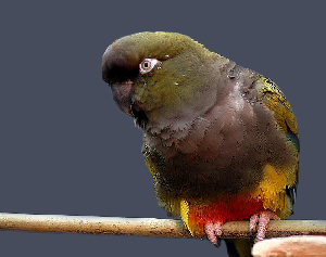 (Psittacidae - MACN-Or-ct 3731)  @15 [ ] Copyright (2014) MACN Museo Argentino de Ciencias Naturales, Bernardino Rivadavia