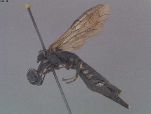(Xiphydriidae - DEIGISHym11077)  @15 [ ] Copyright (2011) Senckenberg DEI Senckenberg DEI