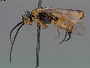 ( - DEIGISHym11483)  @11 [ ] Copyright (2011) Senckenberg Deutsches Entomologisches Institut Senckenberg Deutsches Entomologisches Institut