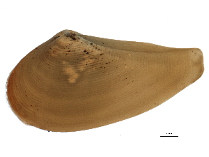 (Nuculanida - BIOUG12646-F10)  @14 [ ] CC-0 (2014) CBG Photography Group Centre for Biodiversity Genomics